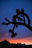 Joshua Trees at sunset. Royalty Free Stock Photography