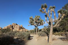 Joshua Trees in Joshua Tree National Park californië Royalty-vrije Stock Fotografie