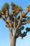 Joshua Trees in Joshua Tree National Park californië Royalty-vrije Stock Foto