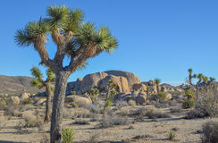 Joshua trees Stock Photo