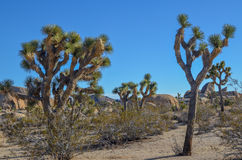 Joshua trees Stock Image