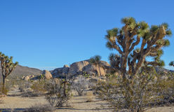 Joshua trees Royalty Free Stock Image