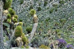 Joshua Trees Stock Images