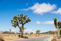 Joshua Trees Yucca Brevifolia growing on the side of a paved road in Joshua Tree National Park, California stock image