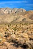 Joshua Trees (Yucca brevifolia) Nevada Royalty Free Stock Image