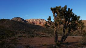 Joshua trees in Zion Canyon Stock Photography