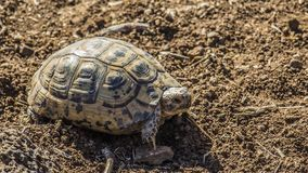 Joshua The Turtle. Living up north at the Jordan valley. Israel Stock Images