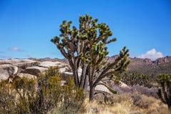 Joshuabomen in het Nationale Park van Mojave in Nevada Royalty-vrije Stock Afbeelding