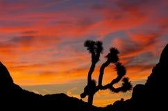 Joshue Tree Sunrise Silhouette Stock Images
