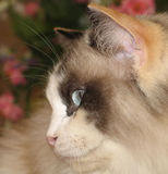 Josie the cat. Profile of a Blue eyed ragdoll cat with red flowers in the background Royalty Free Stock Photography