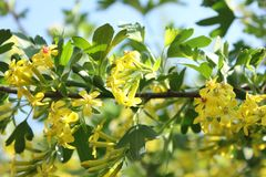 Josta in fioritura Fiore giallo sul fondo degli azzurri Immagini Stock Libere da Diritti