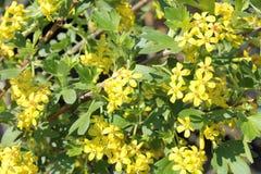 Josta in fioritura Fiore giallo sul fondo degli azzurri Fotografie Stock