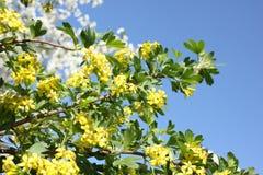 Josta na flor Flor amarela no fundo dos azul-céu imagens de stock royalty free