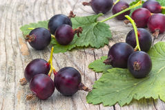 Jostabarry (Ribes nidigrolaria. 'josta'), hybrid of black currants and gooseberries Stock Image