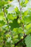 Jostaberry complex-cross fruit bush, blackcurrant gooseberry hybrid. Selective focus. Shallow depth field.  stock image