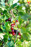 The jostaberry on fruit bush Royalty Free Stock Images