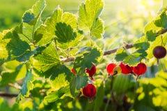 Jostaberry gałąź z jagodami na zmierzchu Obrazy Royalty Free