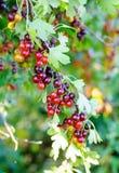 Jostaberry (lat Ribes x nidigrolaria) I stock afbeelding