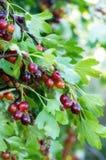 Jostaberry lat Ribes x nidigrolaria jest przecinającym owocowym krzakiem Fotografia Stock
