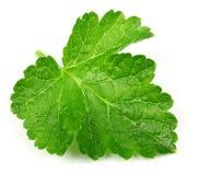 Jostaberry  leaf Royalty Free Stock Photo