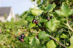 Jostaberry (nidigrolaria för Ribes x) Royaltyfria Foton