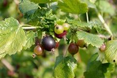 Jostaberry (Ribes x nidigrolaria). Jostaberry bush (lat. Ribes x nidigrolaria Stock Images