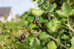 Jostaberry  (Ribes x nidigrolaria) Royalty Free Stock Photos