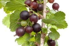 Jostaberry rośliny wycinanka Zdjęcie Stock