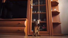 Jouer abyssinien de chaton clips vidéos