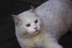 Jouer blanc de chat Photo stock