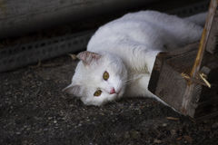 Jouer blanc de chat Image libre de droits