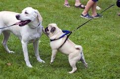 Jouer blanc de deux chiens Images stock