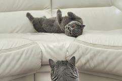 Jouer britannique de chats Photos libres de droits