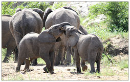Jouer d'éléphants de bébé Image stock