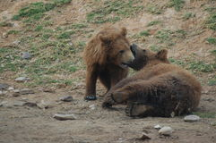 Jouer d'ours Photo stock