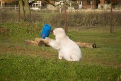 Jouer d'ours blanc Photo libre de droits