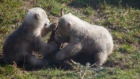Jouer d'ours blancs de bébé banque de vidéos