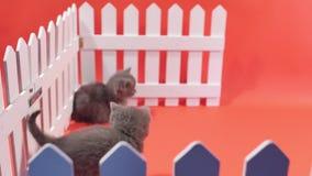 Jouer de bébés des Anglais Shorthair, d'isolement banque de vidéos