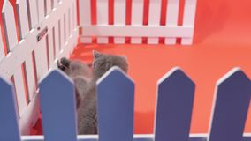 Jouer de bébés des Anglais Shorthair, d'isolement clips vidéos