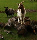 Jouer de chèvres de printemps Photos libres de droits