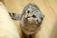 Jouer de chat de pli d'écossais Images libres de droits