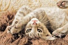 Jouer de chaton Images libres de droits