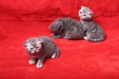 Jouer de chatons de bébé Images libres de droits
