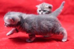 Jouer de chatons de bébé Image libre de droits
