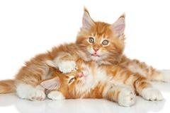 Jouer de chatons de Maine Coon Photographie stock libre de droits