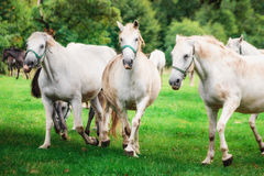 Jouer de chevaux blancs Photos libres de droits