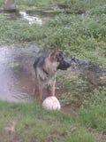 Jouer de chien de berger allemand Photos stock