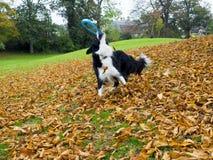 Jouer de chien de border collie Photographie stock libre de droits