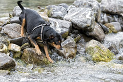Jouer de chien de Pincher Photo stock