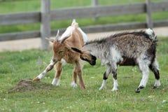 Jouer de deux chèvres Photos stock